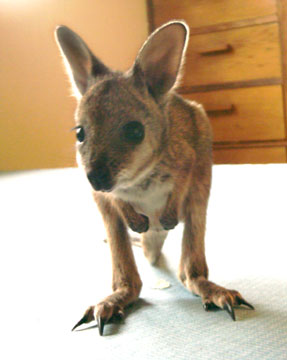 wallaby-0005