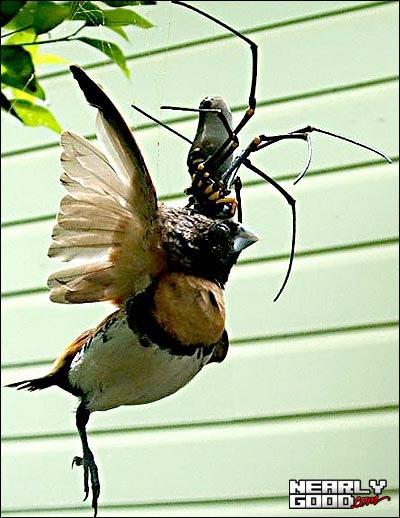 giantspidereatingabird